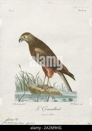 Circus ranivorus, Print, The African marsh harrier (Circus ranivorus) is a bird of prey belonging to the harrier genus Circus. It is largely resident in wetland habitats in southern, central and eastern Africa from South Africa north to South Sudan., 1796-1808 - Stock Photo