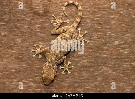 Sinai fan-fingered gecko (Ptyodactylus guttatus) מניפנית מצויה