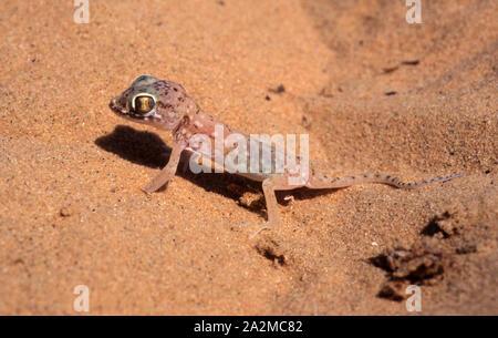 Lichtenstein's short-fingered gecko - Stenodactylus sthenodactylus ישימונית מצויה - Stock Photo