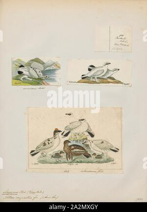 Lagopus rupestris, Print, Lagopus is a small genus of birds in the grouse subfamily commonly known as ptarmigans. The genus contains three living species with numerous described subspecies, all living in tundra or cold upland areas., 1700-1880 - Stock Photo