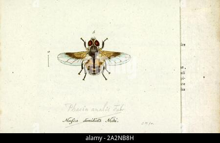 Phasia, Print, Phasia is a genus of flies in the family Tachinidae - Stock Photo