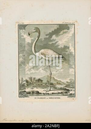Phoenicopterus antiquorum, Print, The greater flamingo (Phoenicopterus roseus) is the most widespread and largest species of the flamingo family. It is found in Africa, on the Indian subcontinent, in the Middle East, and in southern Europe., 1700-1880 - Stock Photo
