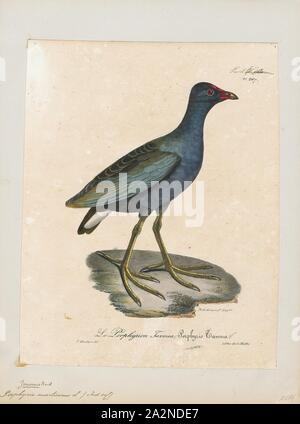 Porphyrio martinicus, Print, The purple gallinule (Porphyrio martinicus) is a swamphen in the genus Porphyrio. It is in the order Gruiformes, meaning 'crane-like - Stock Photo