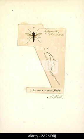 Prosena, Print, Prosena is a genus of flies in the family Tachinidae - Stock Photo