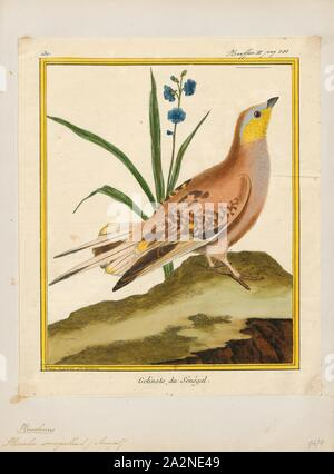 Pterocles senegallus, Print, The spotted sandgrouse (Pterocles senegallus) is a species of ground dwelling bird in the family Pteroclididae. It is found in arid regions of northern and eastern Africa and across the Middle East and parts of Asia as far east as northwest India. It is a gregarious, diurnal bird and small flocks forage for seed and other vegetable matter on the ground, flying once a day to a waterhole for water. In the breeding season pairs nest apart from one another, the eggs being laid in a depression on the stony ground. The chicks leave the nest soon after hatching and eat - Stock Photo