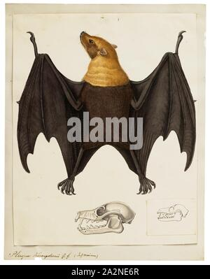 Pteropus keraudrenii, Print, Pteropus (suborder Yinpterochiroptera) is a genus of megabats which are among the largest in the world. They are commonly known as fruit bats or flying foxes, among other colloquial names. They live in the tropics and subtropics of Asia (including the Indian subcontinent), Australia, East Africa, and some oceanic islands in the Indian and Pacific Oceans. There are at least 60 extant species in the genus., with skull - Stock Photo