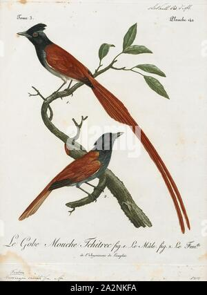 Tchitrea viridis, Print, The paradise flycatchers (Terpsiphone), are a genus of bird in the family Monarchidae. The genus ranges across Africa and Asia, as well as a number of islands. A few species are migratory, but the majority are resident. The most telling characteristic of the genus is the long tail streamers of the males of many species. In addition to the long tails the males and females are sexually dimorphic and have rufous, black and white plumage., 1796-1808 - Stock Photo
