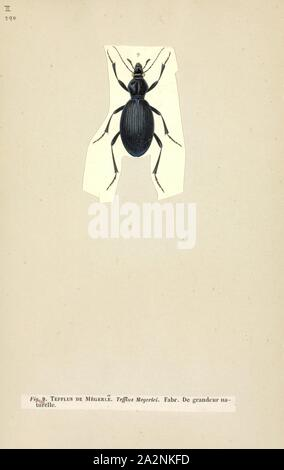 Tefflus, Print, Tefflus is a genus of large, black and flightless Afrotropical ground beetles in the tribe Panagaeini. They are broadly similar to the Anthiini ('oogpisters'), but are not colourful, and have a six-sided and flattish pronotum. The distinct longitudinal carinae (ridges) on their elytra are separated by two rows of punctures running along the striae (grooves). Males have some segments of the forelegs enlarged - Stock Photo