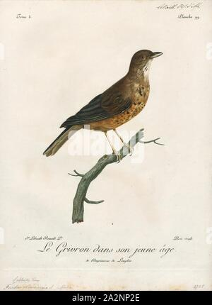 Turdus olivaceus, Print, The olive thrush (Turdus olivaceus) is, in its range, one of the most common members of the thrush family (Turdidae). It occurs in east African highlands from Tanzania and Zimbabwe in the north to the Cape of Good Hope in south. It is a bird of forest and woodland, but has locally adapted to parks and large gardens in suburban areas., 1796-1808 - Stock Photo