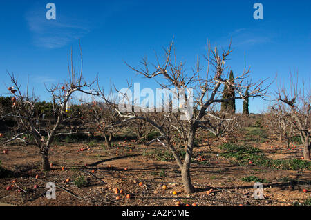 General view of a field with leafless persimmon trees already in the winter time after harvesting - Stock Photo