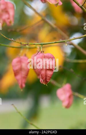 Koelreuteria paniculata 'Rose Lantern'. Golden Rain Tree seed pod in autumn. UK - Stock Photo