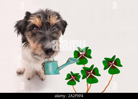 small Jack Russell Terrier dog carries a watering can and sits on the ground with four-leaf clover leaves. Funny perspective - Stock Photo