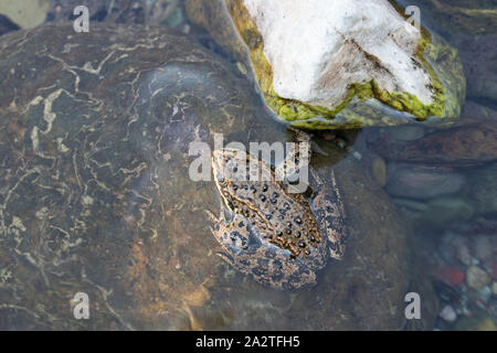 Columbia Spotted Frog (Rana luteiventris), image was taken in the Waterton Lakes National Park, Alberta, Canada - Stock Photo