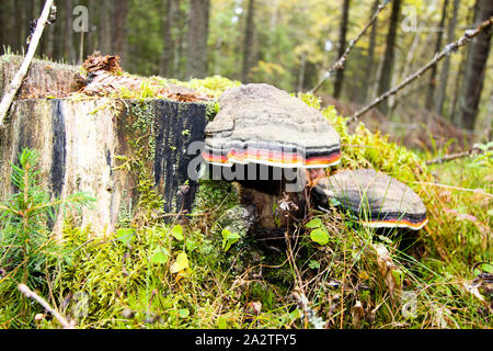 Moss on a tree stump with a mushroom. Forest background. - Stock Photo