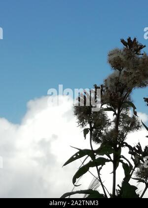 fluffy seeds waving in the wind against a blue sky with white cloud - Stock Photo