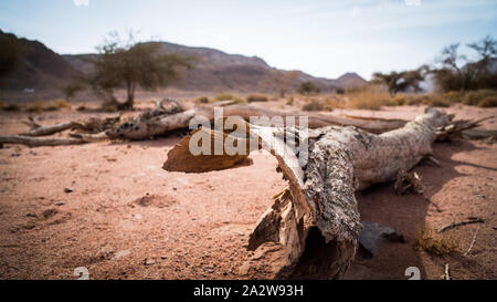 wood bough on the desert on yellow sand in Timna valley - Stock Photo