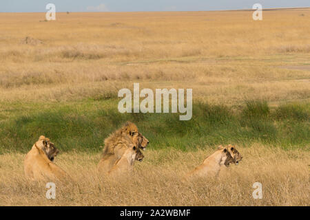 Family of African lions with baby in hiding in the grass in Serengeti national park, Tanzania.
