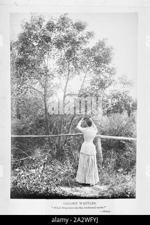 Photograph - by A.J. Campbell, Victoria, circa 1890, A woman standing by a fence picking a branch from a wattle tree - Stock Photo