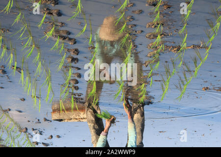 Water reflection of a farmer planting rice seedlings in a muddy rice field and wet, so that the rice is faster to grow to be harvested - Stock Photo