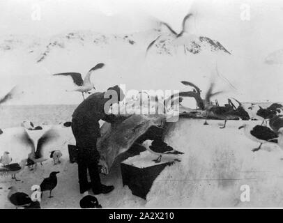 Photograph - by George Rayner, Antarctica, 1927-1939, PHOTOGRAPH; G.W.RAYNER FLENSING A LEOPARD SEAL SKIN 1928 - Stock Photo