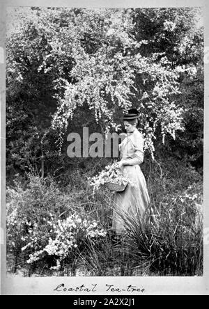 Photograph - by A.J. Campbell, Victoria, circa 1890, A woman, formally dressed and wearing a hat, stands beneath a flowering tea-tree. She carries a basket filled with blossoms - Stock Photo