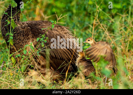 Loving, Caring and Protective mother peahen or female Peafowl with playful peachicks or chicks trying their first fly. National Bird of india.