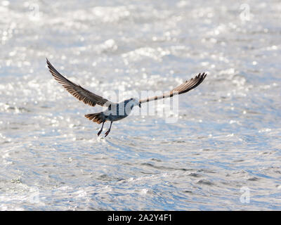 Immature Kelp Gull in flight over the ocean - Stock Photo