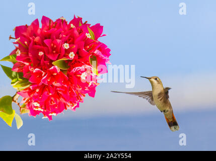 Flying hummingbird hovering in mid air in front of red flower - Stock Photo