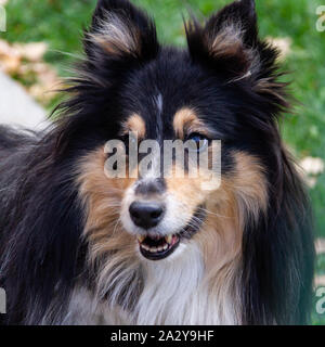 Sheltie or Shetland Sheepdog has traditionally been used as a shepherd dog. This adorable dog with a furry collar is often mistaken for a mini version - Stock Photo