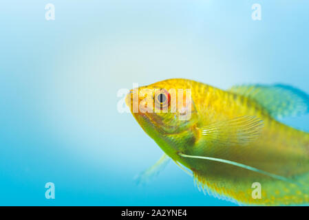 Aquarium Fish Golden gourami Trichogaster trichopterus Gold - Stock Photo