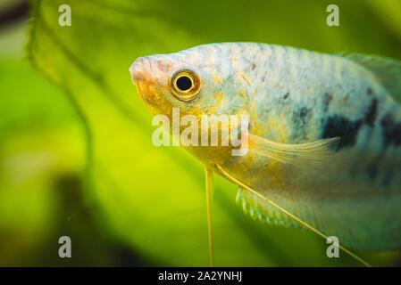 Opaline Gourami Trichopodus trichopterus tropical aquarium fish - Stock Photo