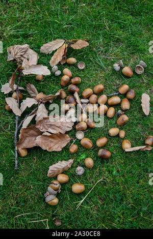 Acorns and oak leaves lying on the grass beneath an oak tree  during Autumn in Britain - Stock Photo