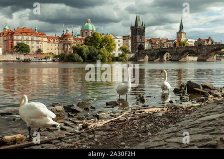 Swans on the shore of Vltava river in Prague, Czechia. - Stock Photo