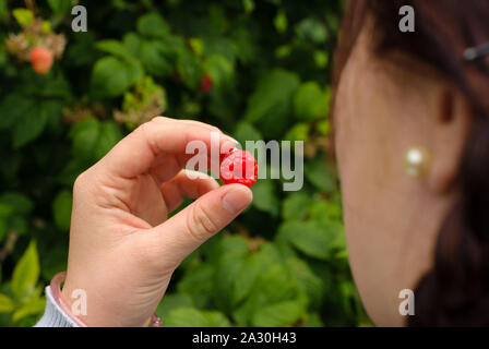 Ripe raspberry just picked off of the bush by a young woman at a pick your own farm - Stock Photo