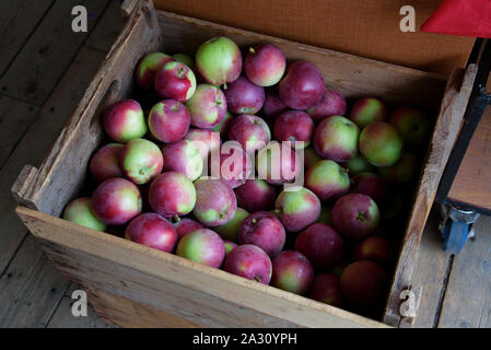 Freshly picked apples in a wooden crate. - Stock Photo