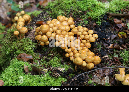 the image shows some kuehneromyces in a wood - Stock Photo