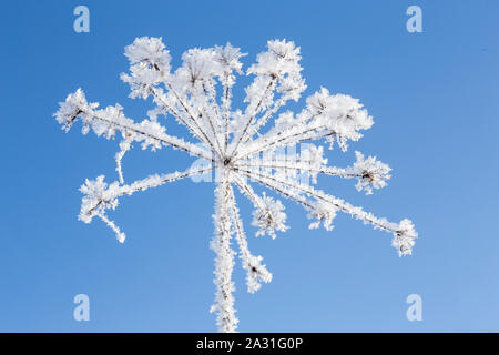 Beautiful frozen plant early frosty, sunny morning, blue sky background. - Stock Photo