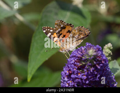 Painted Lady Butterfly, Cynthia cardui,  Single adult feeding on Buddleia flowers. Essex, UK. - Stock Photo
