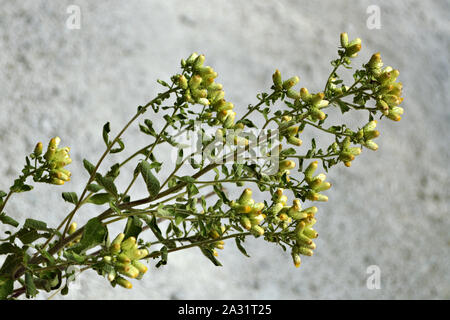 Bush not blooming flowers goldenrod  ordinary (solidago virgaurea) on a gray background on the Istrian Peninsula in Croatia. - Stock Photo