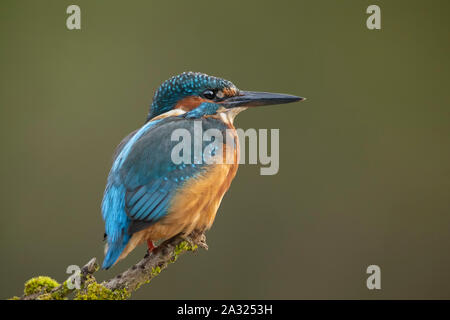 Kingfisher, perched on a branch, close up, in scotland, in autumn - Stock Photo