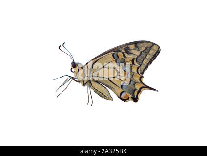 Male Profile of Swallowtail butterfly cut-out on white background. Eastern tiger butterfly isolated.  Yellow, Papilionidae. - Stock Photo