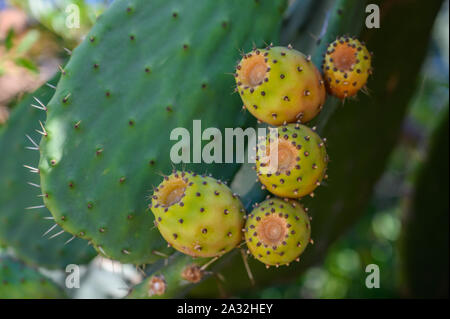 Prickly pear fruits on leaves close-up selective focus - Stock Photo