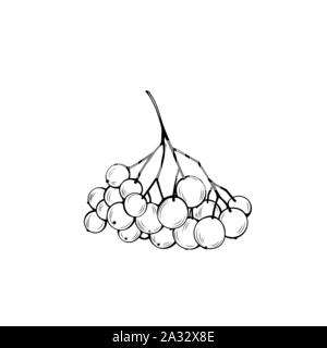 Rowan bunch hand drawn vector illustration. Autumn season harvest, thanksgiving, christmas outline symbol. Delicious berries, organic dessert monochrome drawing. Natural food, healthy nutrition - Stock Photo