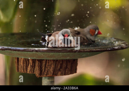 Shaft tail finch birds Poephila acuticauda  in a bird bath bathing their wings and splashing about in the water. - Stock Photo