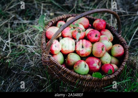 tasty organic apples in a wicker basket in the orchard Stock Photo