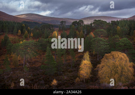Scots Pine and Silver Birch in autumnal colours, Glen Affric, Cannich, Highlands Scotland - Stock Photo