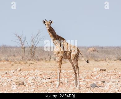 A juvenile Giraffe in Namibian savannah - Stock Photo