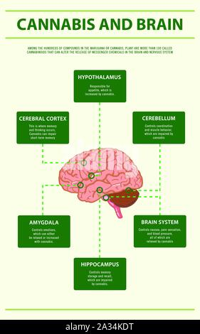 Cannabis and Brain vertical infographic illustration about cannabis as herbal alternative medicine, healthcare and medical science vector. - Stock Photo