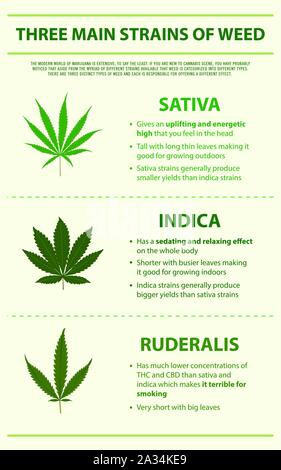 Three Main Strains of Weed vertical infographic illustration about cannabis as herbal alternative medicine, healthcare and medical science vector. - Stock Photo