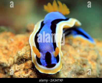 Anna's Magnificent Slug (Chromodoris annae) from Front. Padang Bai, Bali, Indonesia - Stock Photo